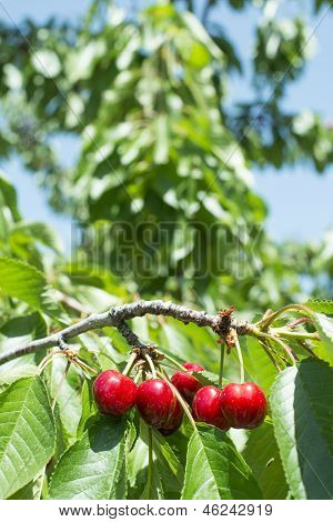 Twig With Red Cherries