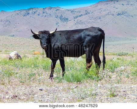 Black Long Horn Wild Steer