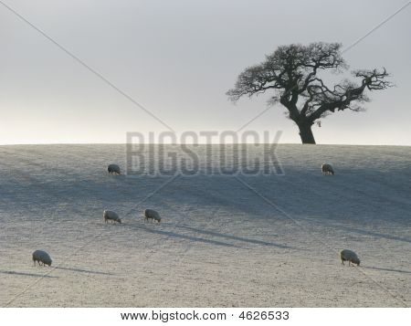 Sheep In Frosty Field With Tree Silhouette