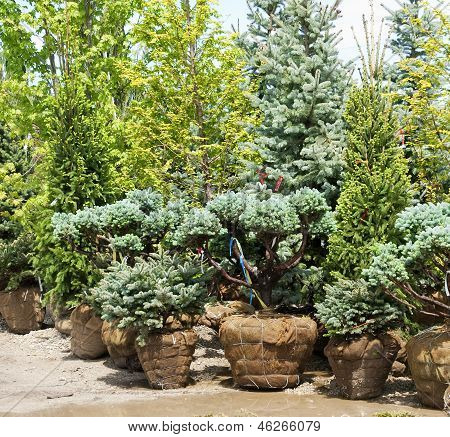 variety of pine trees