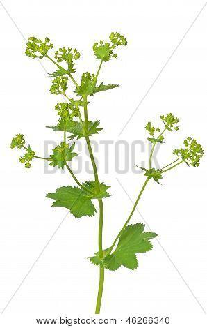 Ladys Mantle Herb (alchemilla Mollis)
