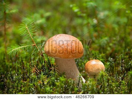 Two ceps with dew drops in the forest. very shallow depth of field