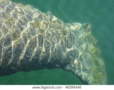 Close-up Manatee Tail Underwater