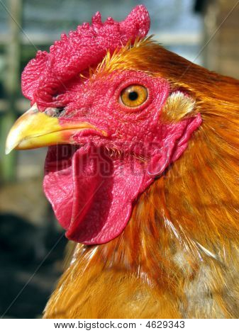 Cockerel Closeup
