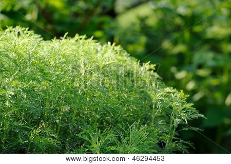 Green Southernwood (Artemisia Abrotanum) Shrub