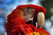 picture of jungle birds  - Head of Red Parrot over a Blurred Background - JPG