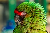 stock photo of endangered species  - Close up of feather detail and eye on a colorful green military macaw or parrot a popular pet due to its ability to imitate human voices - JPG