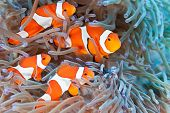 image of clown fish  - Clownfish on the anemone soft coral - Philippine