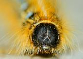 picture of scourge  - Closeup macro shot of a Tent Caterpillar crawling along a wooden plank - JPG