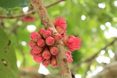 stock photo of malay  - Malay apple or Malay rose apple flower - JPG