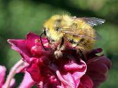 stock photo of columbine  - A fuzzy yellow bumblebee on Columbine flower - JPG