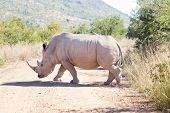 African White Rhino Walking Over Gravel Road