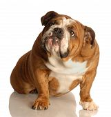 foto of disobedient  - english bulldog sitting looking up with guilty expression - JPG