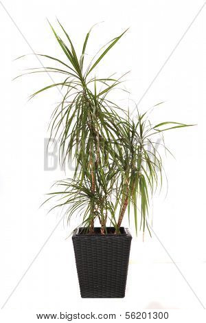 Standard indoor plant dracaena marginata, also called dragon tree. All on white background