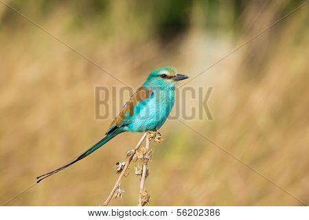 Abyssinian Roller (coracias Abyssiniica)