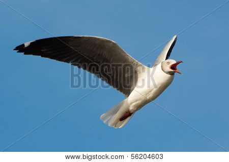 Grey-headed Gull Screeching In Flight