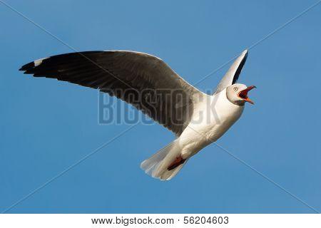Grey-headed Gull Screeching In Flight