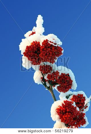 ash-berry red branches under snow and blue sky