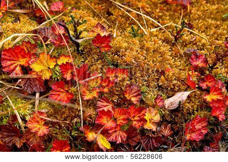 Late Autumn In The Chukchi Tundra. Variegated Plants.