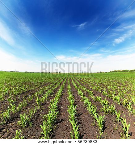 field with corn - agriculture landscape