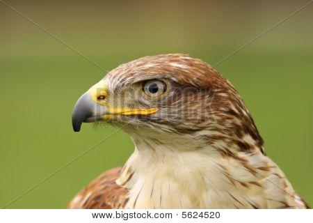Portrait of a Ferruginous hawk (butea regalis)