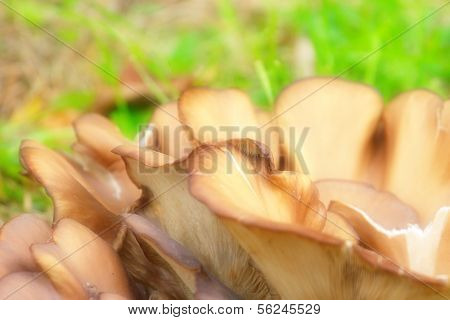 mushroom Pleurotus