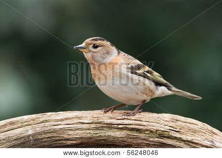 Brambling sitting on a branch in the winter