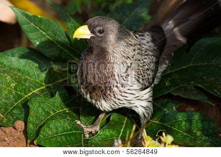 Portrait Of A Wet Western-grey Plantain-eater (crinifer Piscator)
