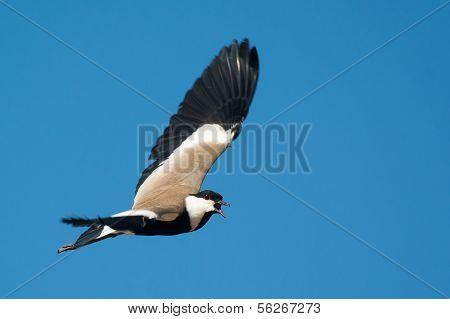 Spur-winged Plover (vanellus Spinosus) Screeching In Flight