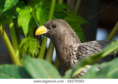 Western-grey Plantain-eater (crinifer Piscator)