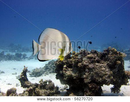 Batfish on reef