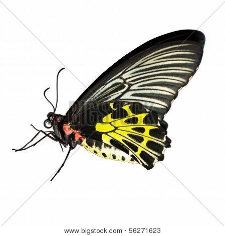 Common birdwing butterfly