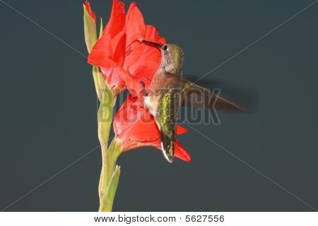 Hummingbird clinging to flower