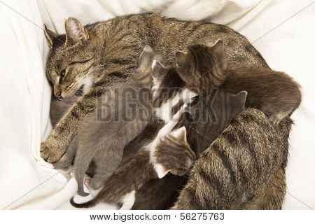 Cat Mother Suckles Her Young