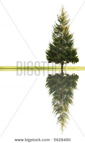 Single Fir And Grass With Reflection