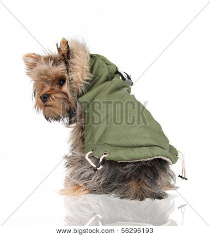 a cute yorkshire terrier in a winter coat looking back at the camera