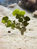 foto of green algae  - A chain halimeda green calcareous algae  - JPG