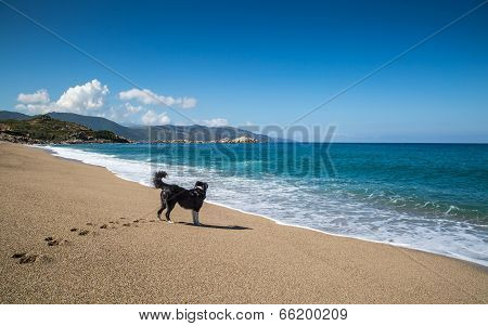 Border Collie Dog On Beach At Sagone In Corsica