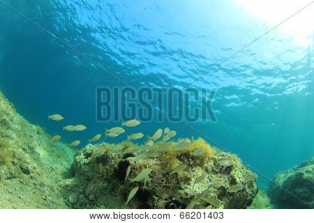 Seagrass and fish underwater