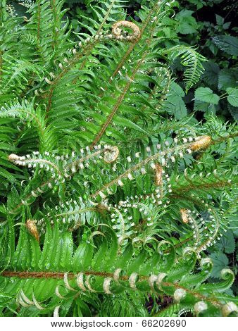 Sword Fern Fronds Unfurling