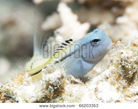 Red Sea Mimic Blenny