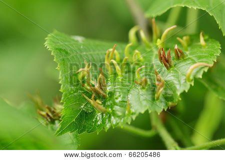 Galls On Linden Leaves