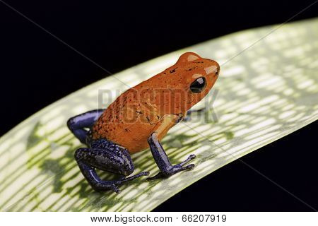 strawberry poison dart frog a beautiful tropical amphibian from the rain forest this red and blue animal is kept as a pet in a rainforest terrarium