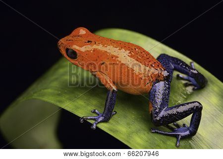 frog from the tropical rain fortest of Costa Rica Dendrobates pumilio Guapiles (blue jeans) or strawberry poison arrow frog
