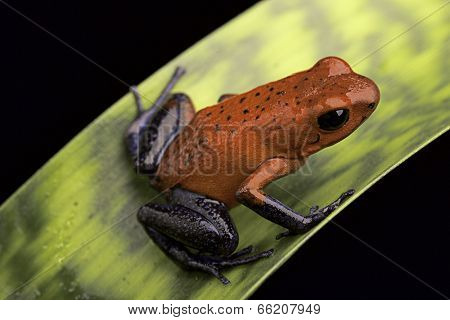 frog with red and blue strawberry poison dart frog Oophaga pumilio for Costa Rica tropical rain forest