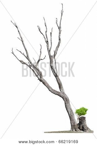 Old Tree On White Background.concept Death And Life Revival
