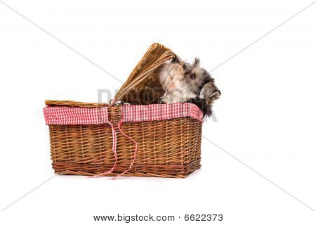 A terrier in a basket