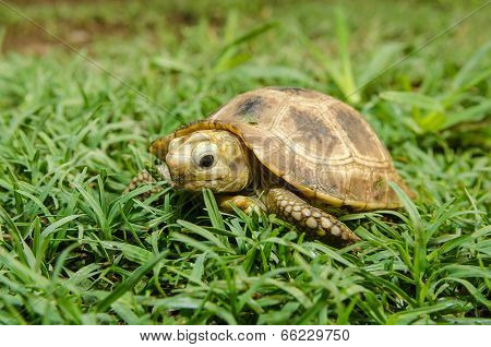 Box Turtle On Grass