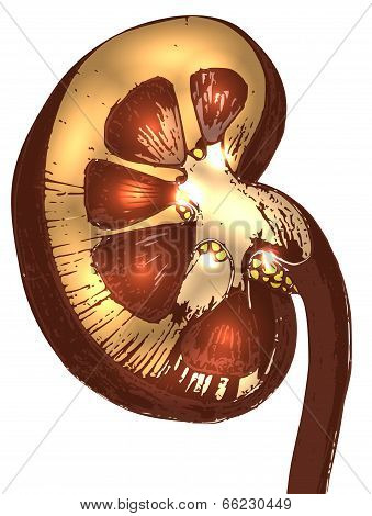 Abstract Kidney Bean Cross Section
