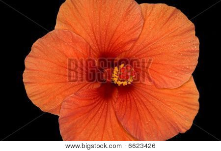 Flower Of The Hibiscus On Black Background